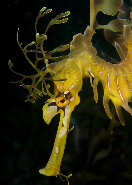 Leafy Sea Dragon Greeting Card featuring the photograph Leafy Sea Dragon by Matthew Oldfield