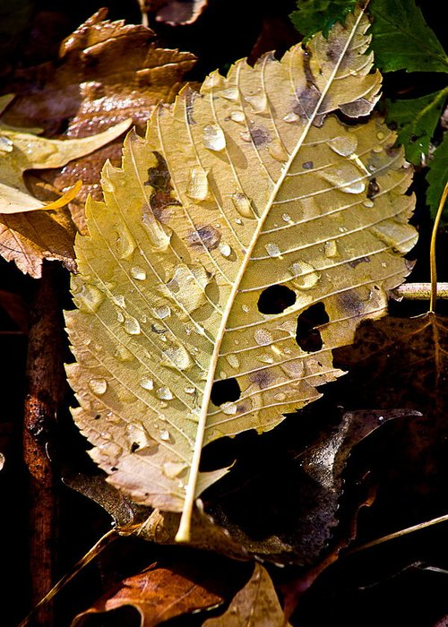 Water Droplets Greeting Card featuring the photograph Leafy Tears by Burney Lieberman