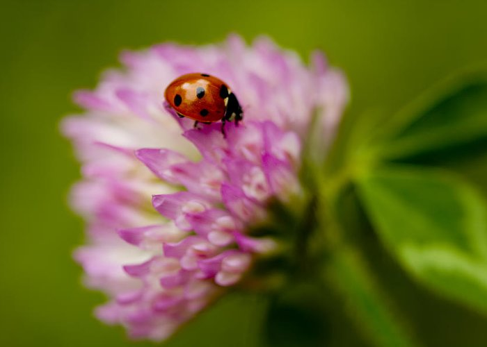 Coccinella Septempunctata Greeting Card featuring the photograph Lensbaby Ladybug On Pink Clover by Kathy Clark