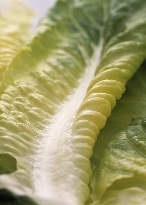 Lettuce Greeting Card featuring the photograph Lettuce Leaf by Sheila Terry