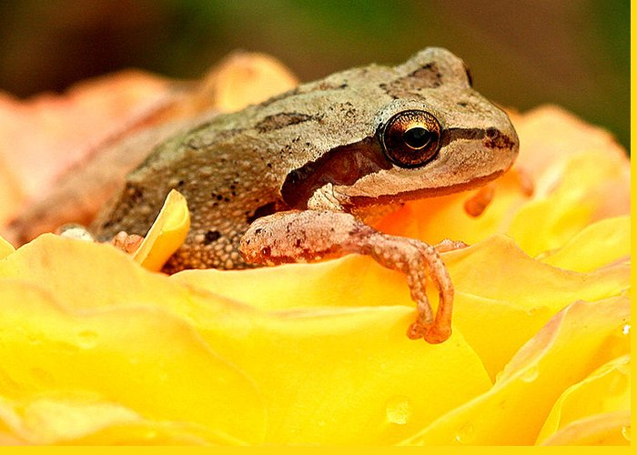 Amphibians Greeting Card featuring the photograph Life In The Rose by Jean Noren