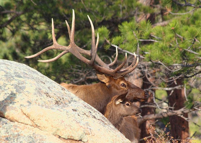 Elk Greeting Card featuring the photograph Like Father - Like Son by Shane Bechler
