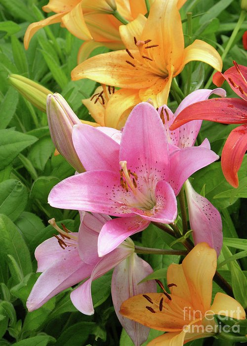'limelight' Greeting Card featuring the photograph Lilies (lilium Sp.) by Tony Craddock