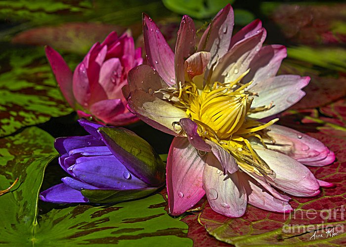 Waterlily Greeting Card featuring the photograph Lilies No. 20 by Anne Klar