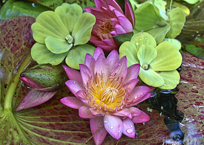 Pink Water Lily Greeting Card featuring the photograph Lilies No. 21 by Anne Klar