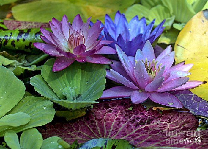 Blue Purple Violet Magenta Water Lily Lilies Greeting Card featuring the photograph Lilies No. 27 by Anne Klar