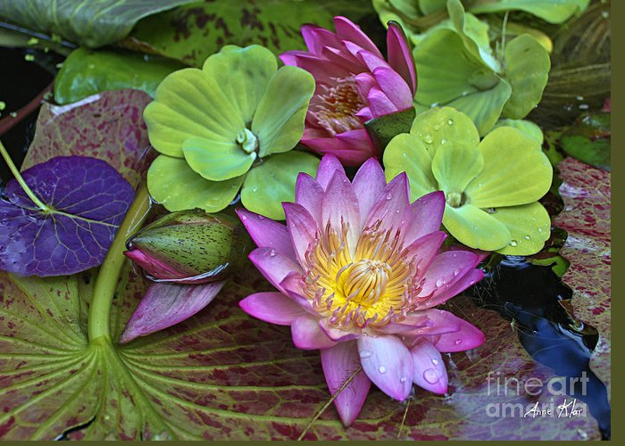 Pink Magenta Rose Waterlily Greeting Card featuring the photograph Lilies No. 28 by Anne Klar