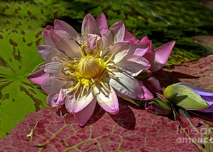 Pink Rose Waterlily Greeting Card featuring the photograph Lilies No.19 by Anne Klar