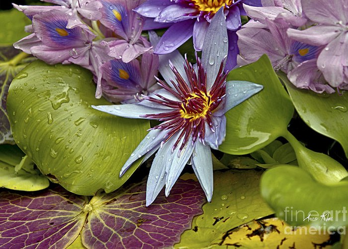 Waterlily Greeting Card featuring the photograph Lillies No. 9 by Anne Klar