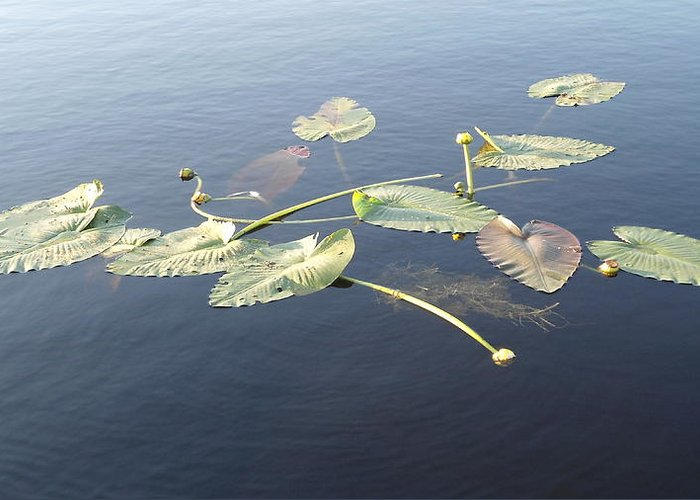 Lilly Pads Greeting Card featuring the photograph Lilly Pads Adrift by Stephanie Wagenbach