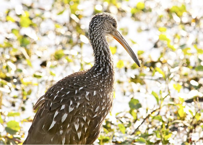 Limpkin Greeting Card featuring the photograph Limpkin Luster by Steven Sparks