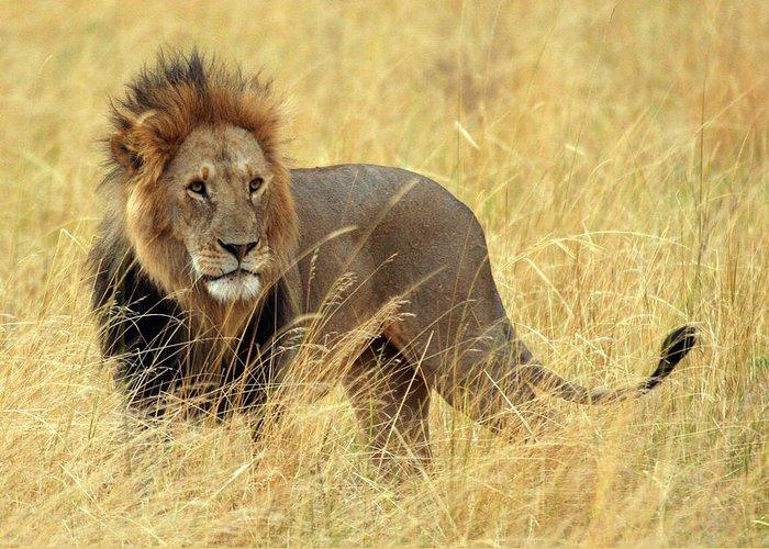 Big Cat: Lion: Male Lion: Wildlife: Nature: Masai Mara: Africa: Kenya: Greeting Card featuring the photograph Lion King by Vic Sharratt