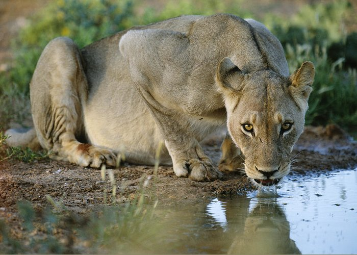 Cat Greeting Card featuring the photograph Lioness Drinking by Tony Camacho
