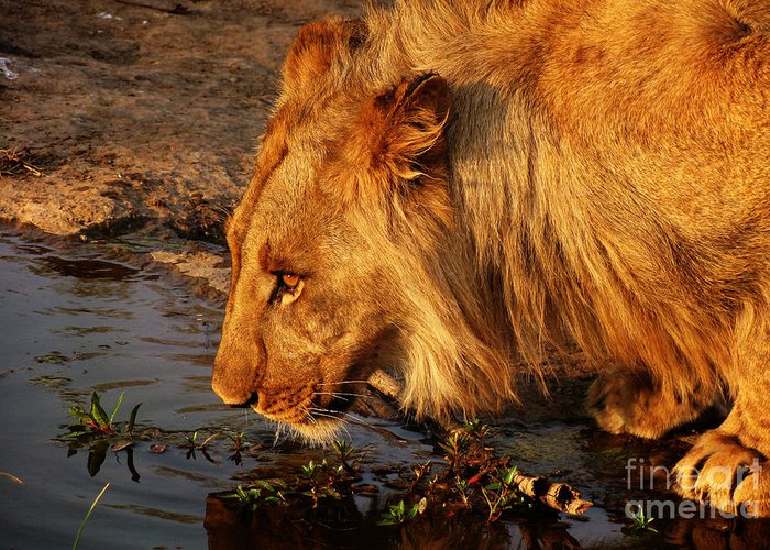 Africa Greeting Card featuring the photograph Lion's Pride by Andrew Paranavitana
