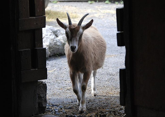 Billy Goat.goat.bill.billy.barn.animal.horns.ears.shed.rock.home.greeting Card.nature.little Bill Greeting Card featuring the photograph Little Bill by Kathy Gibbons