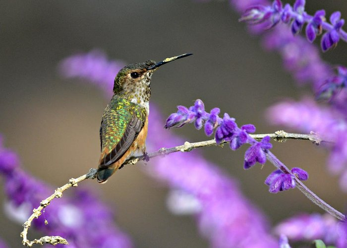 Broadtailed Hummingbird Greeting Card featuring the photograph Little Extra Pollen 2 by Fraida Gutovich