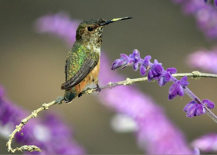 Broadtailed Hummingbird Greeting Card featuring the photograph Little Extra Pollen by Fraida Gutovich