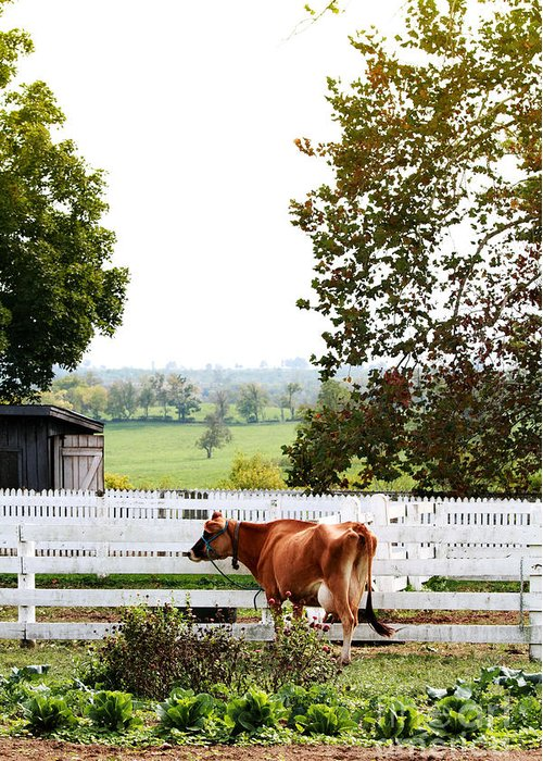 Alone Greeting Card featuring the photograph Little Jersey Cow by Stephanie Frey