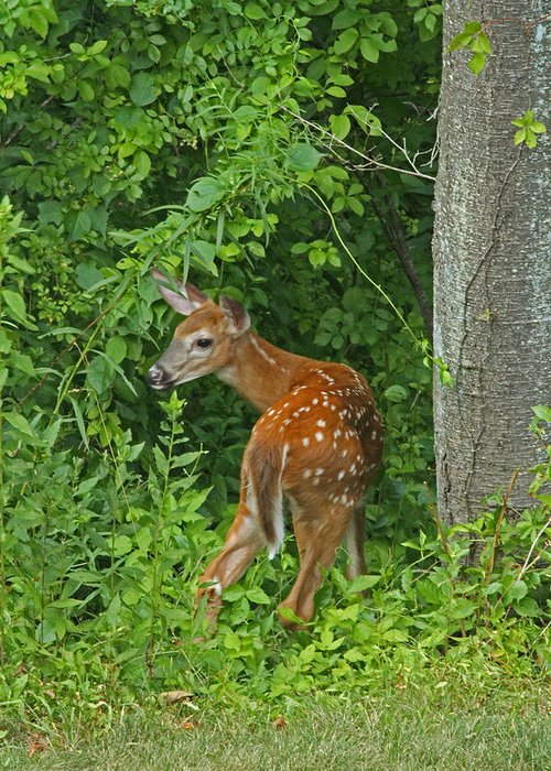 Deer Greeting Card featuring the photograph Little One by Karol Livote