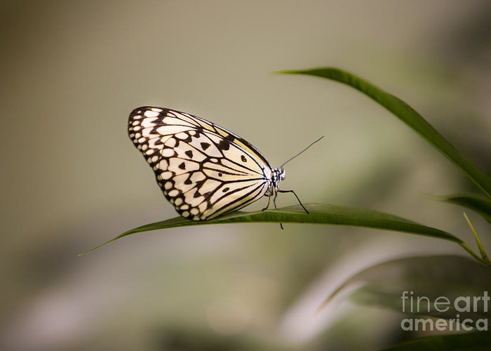 Butterfly Greeting Card featuring the photograph Little Zebra by Leslie Leda