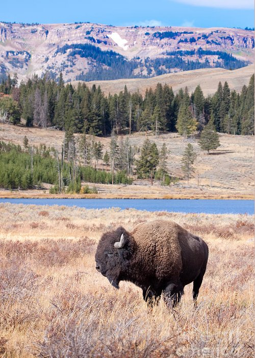 Buffalo Greeting Card featuring the digital art Lone Buffalo by Cindy Singleton