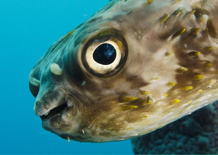 Mp Greeting Card featuring the photograph Long-spine Porcupinefish Diodon by Pete Oxford