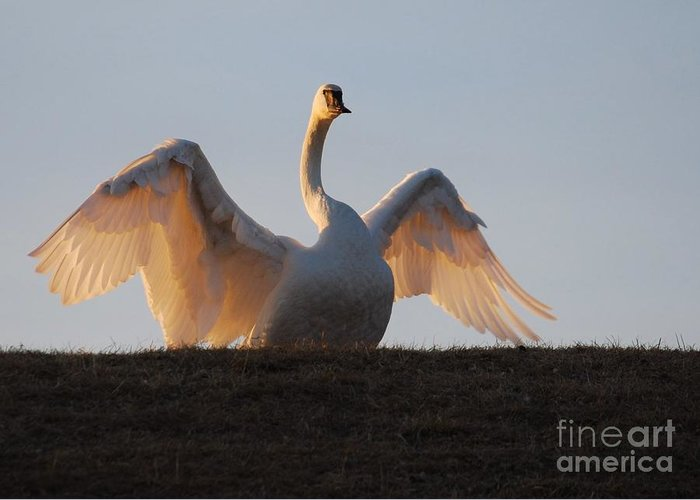 Trumpeter Swan Greeting Card featuring the photograph Look At Me Everyone by Joy Bradley