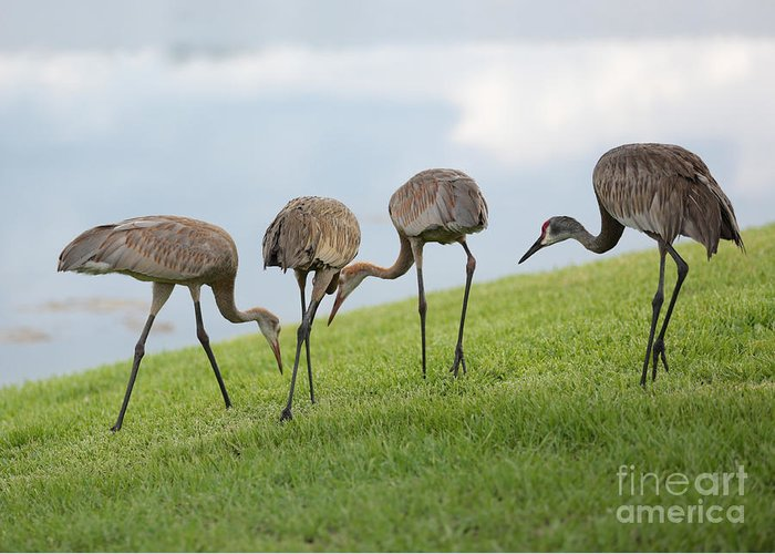 Sandhill Cranes Greeting Card featuring the photograph Look What I Found by Carol Groenen