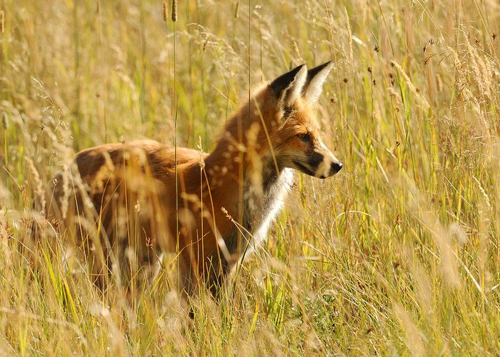 Red Fox Greeting Card featuring the photograph Lookin' For Lunch by Amy Gerber