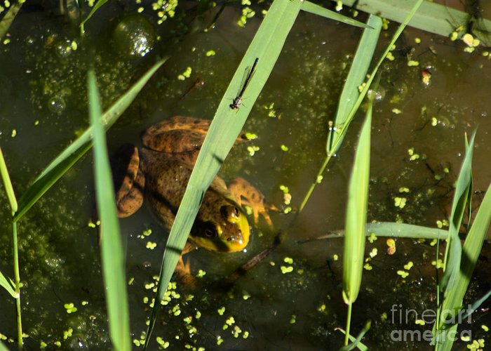 Frog Greeting Card featuring the photograph Lookin For Lunch by Nick Gustafson