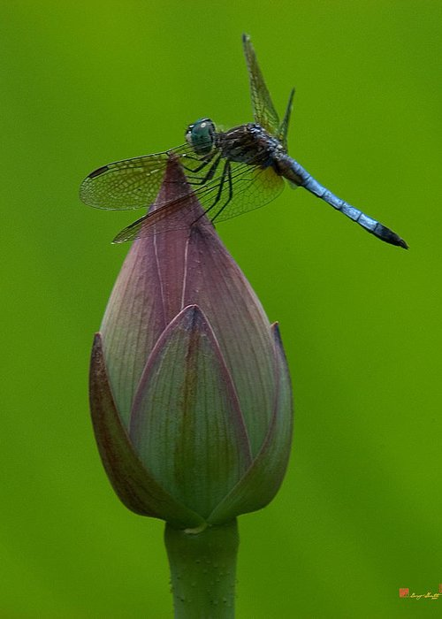 Nature Greeting Card featuring the photograph Lotus Bud And Blue Dasher Dragonfly Dl007 by Gerry Gantt