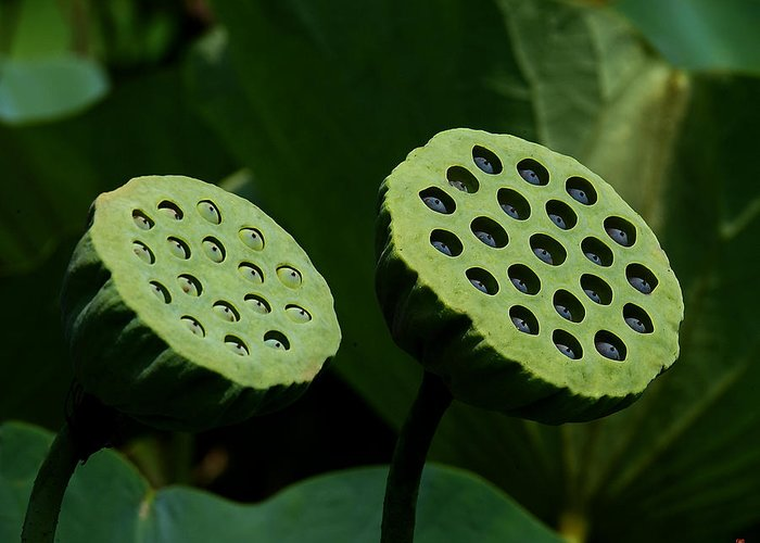 Nature Greeting Card featuring the photograph Lotus Capsules-sun Worshipers Dl052 by Gerry Gantt