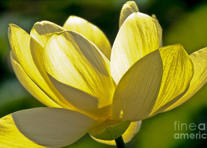 Lotus Greeting Card featuring the photograph Lotus Flower by Heiko Koehrer-Wagner