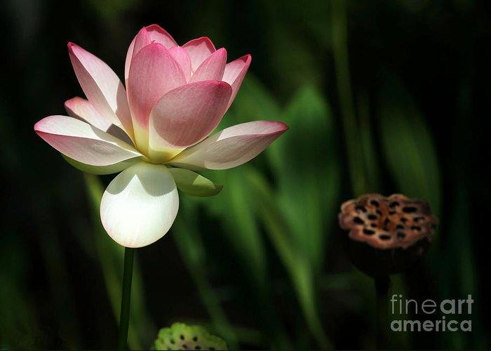 Landscape Greeting Card featuring the photograph Lotus Opening To The Sun by Sabrina L Ryan