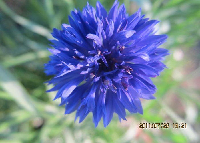 Flowers Greeting Card featuring the photograph Lovely Dark Blue Gentleman's Button by Tina M Wenger