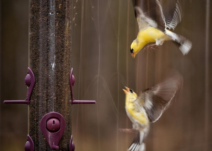 Yellow Finch Greeting Card featuring the photograph Lovely Fight by Venura Herath