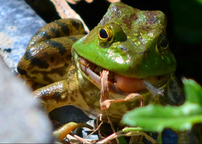 Bullfrog Greeting Card featuring the photograph Lunch by the pond by Bonnie Brewer