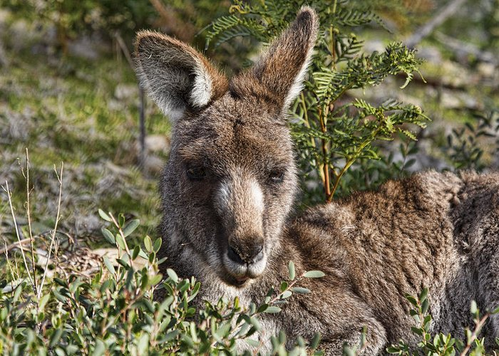 Wallaby Greeting Card featuring the photograph Lying Low by Douglas Barnard