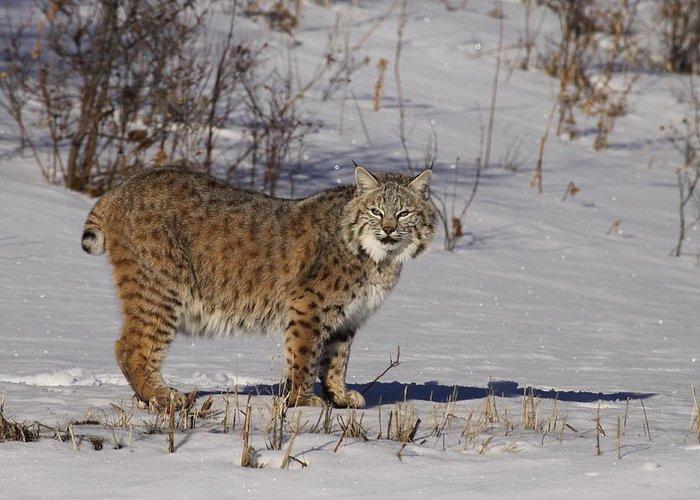 Cat: Wildlife: Lynx: Usa: Minesota: Nature: Snow: Winter: Snow Scene: Greeting Card featuring the photograph Lynx In Winter by Vic Sharratt