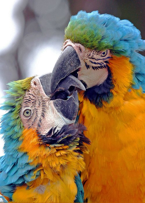 Adorable Amazon America Affectionate Affection Animal Avian Beautiful Bird Blue Care Caress Caribbean Color Colorful Couple Cute Endangered Forest Glue Intelligent Intimacy Jungle Kiss Kissing Lovable Love Lover Macaw Mexico Nature Pair Parrot Pet Protected Relationship Romance Romantic Smart Tenderness Threatened Tropical Valentine Wild Wildlife Yellow Talking Greeting Card featuring the photograph Macaw by J Michael Elliott
