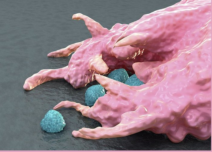 Macrophage Greeting Card featuring the photograph Macrophage Engulfing Bacteria, Artwork by David Mack