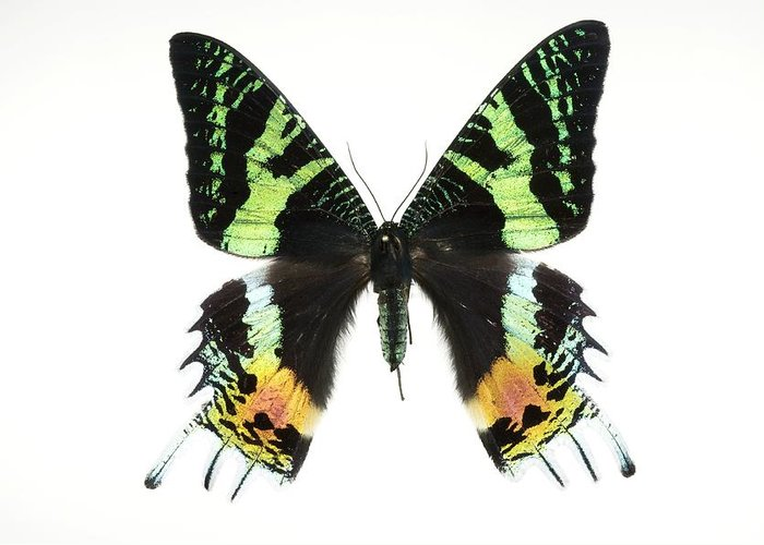 Urania Ripheus Greeting Card featuring the photograph Madagascan Sunset Moth by Lawrence Lawry