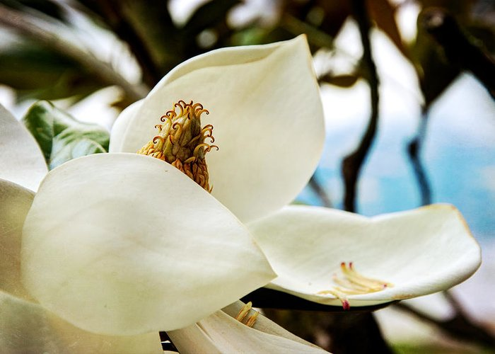 Magnolia Greeting Card featuring the photograph Magnolia by Lisa Knechtel
