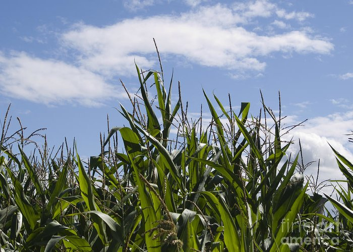 Maize Greeting Card featuring the photograph Maize Crop by Steev Stamford