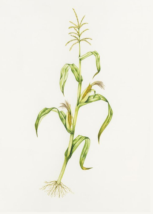 Zea Mays Greeting Card featuring the photograph Maize (zea Mays) by Lizzie Harper
