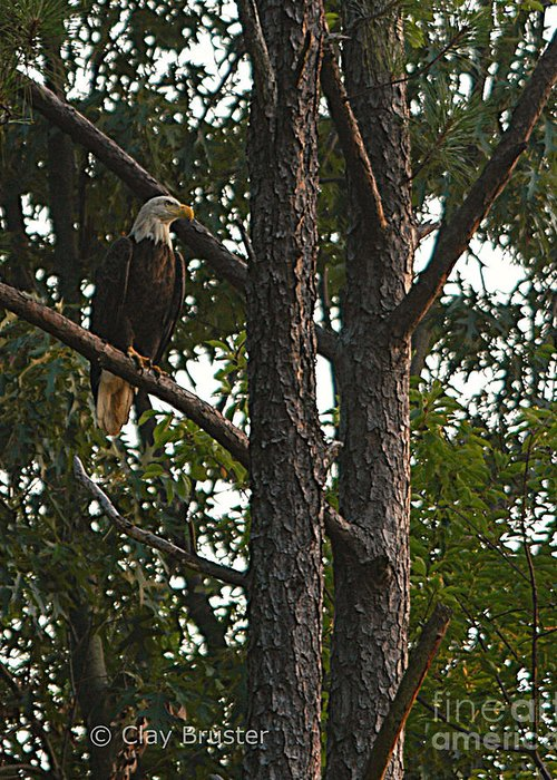 All Rights Reserved Greeting Card featuring the photograph Majestic Bald Eagle by Clayton Bruster