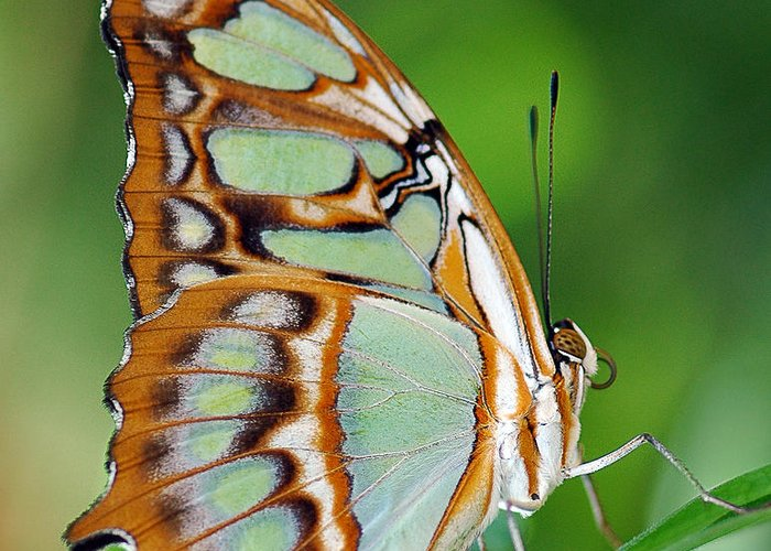 Butterfly Greeting Card featuring the photograph Malachite Butterfly by Marcus Taylor