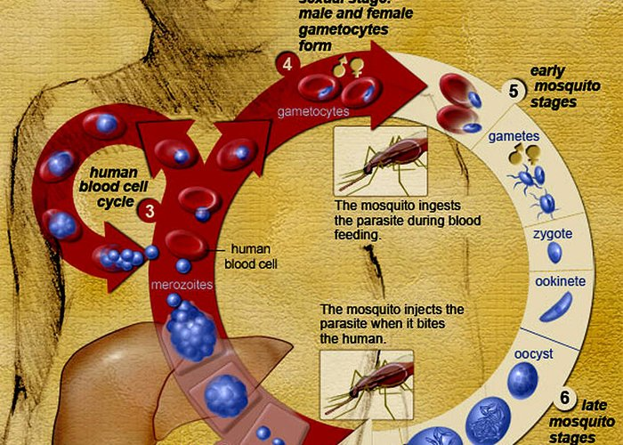 Microbiology Greeting Card featuring the photograph Malaria Parasite Life Cycle by Science Source