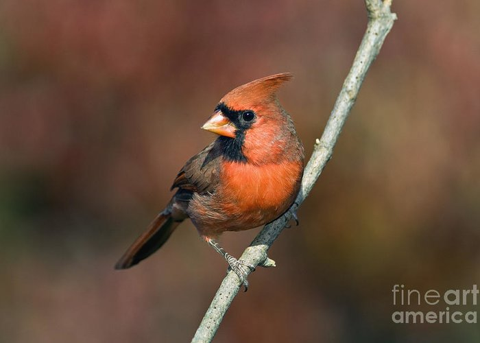 Male Greeting Card featuring the photograph Male Northern Cardinal - D007813 by Daniel Dempster