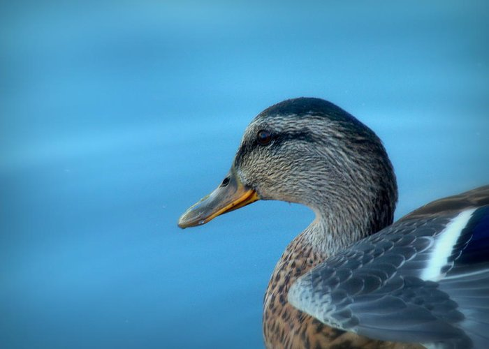 Cindy Greeting Card featuring the photograph Mallard Hen Closeup by Cindy Wright